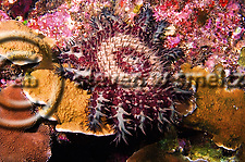 Crown of Thorns starfish, Acanthaster planci, (Linnaeus, 1758), Lanai Hawaii (Steven Smeltzer)