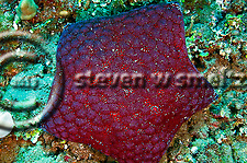Cushion Starfish, Culcita novaeguineae, off coast of Kihei, Maui Hawaii (Steven Smeltzer)