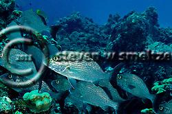 Sailors Choice, Haemulon parra, Grand Cayman (StevenWSmeltzer.com)