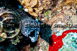 Spotted Moray, Gymnothorax moringa, Grand Cayman (Steven Smeltzer)