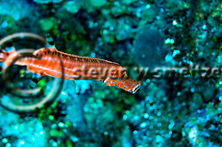 Close up Trumpetfish, Aulostomus maculatus, Grand Cayman (Steven Smeltzer)